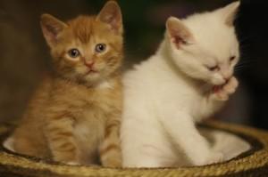 kissanpentuja kuva