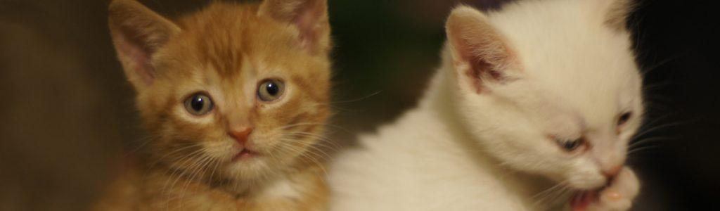 Kissanpentuja Myydään